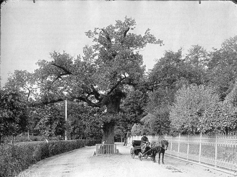 Дуб, по легенде посаженый Петром I, 1900 – 1901 г., фотоателье К.Буллы: https://pastvu.com/p/121439